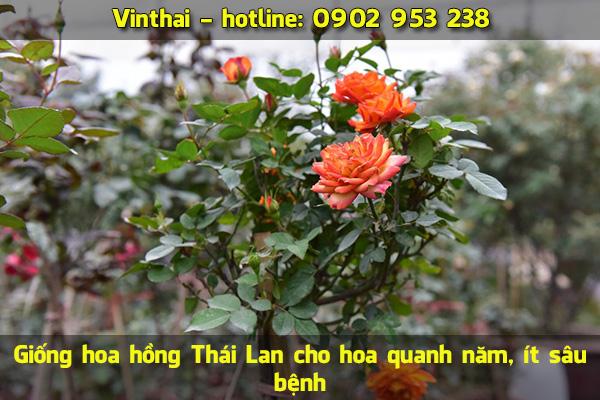 Giống hoa hồng Thái Lan cho hoa quanh năm, ít sâu bệnh