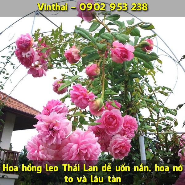 Hoa hồng leo Thái Lan dễ uốn nắn, hoa nở to và lâu tàn