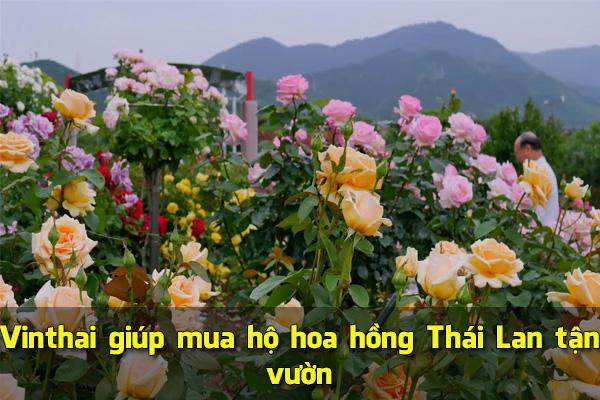 Vinthai giúp mua hộ hoa hồng Thái Lan tận vườn
