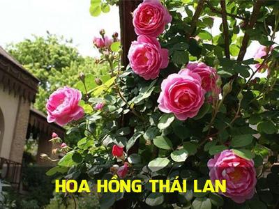 Những gì bạn cần biết về giống hoa hồng Thái Lan